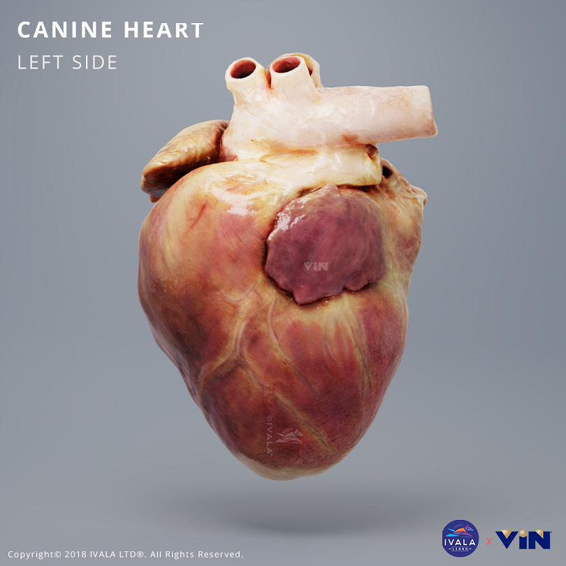 Dog / canine chest cavity anatomy