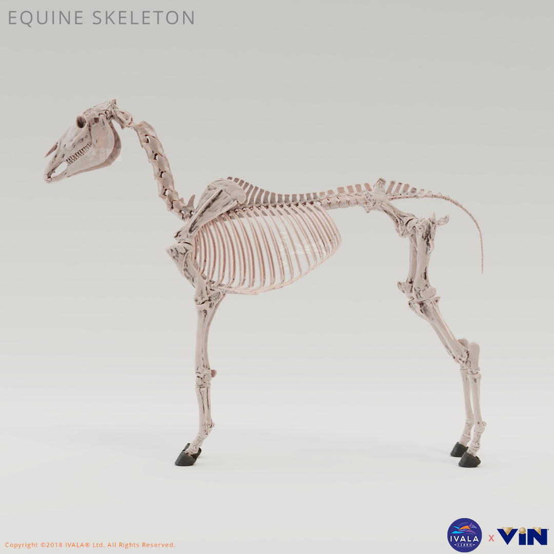 Horse / Equine musculoskeletal system