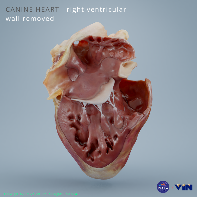 Dog / canine heart right ventricle removed