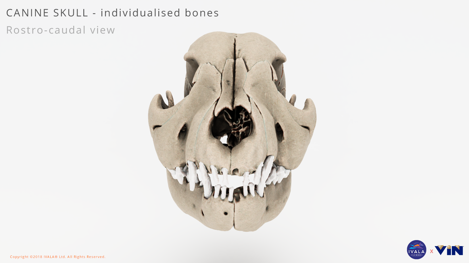 Dog / canine skull anatomy
